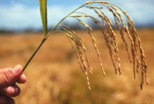 Hybrid rice. Credit, IRRI.