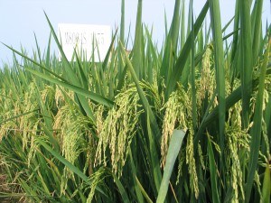A hybrid rice field. R. Toledo, IRRI.