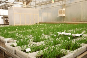 Wheat seedlings in a greenhouse germination test to obtain the expression of seed-borne bacterial or viral pathogens and to check seed viability. Credit, X. Fonseca, CIMMYT.