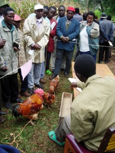 Farmers learn about  quality protein maize (QPM) as animal feed at a farmer field day in Kathaka Kaome, Kenya. Credit, CIMMYT.