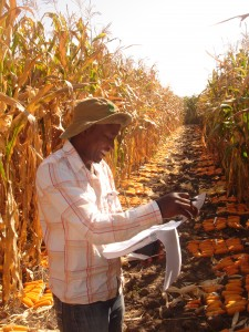 Breeding provitamin A-enriched orange maize, Zambia. Credit, CIMMYT.