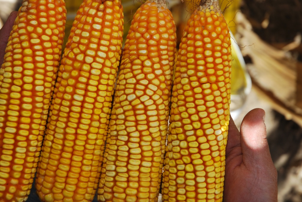 maize research in india