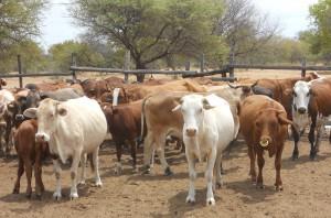 Mahalapye cattle in Botswana. Credit, S. Hendrickx, ILRI.