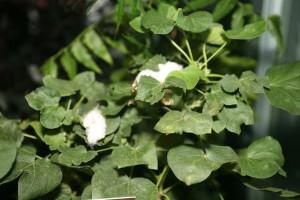 Bt Cotton Gossypium hirsutum