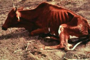Cow suffering from trypanosomosis. Credit ILRI
