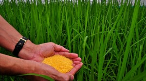 Golden Rice. Credit, Bill & Melinda Gates Foundation