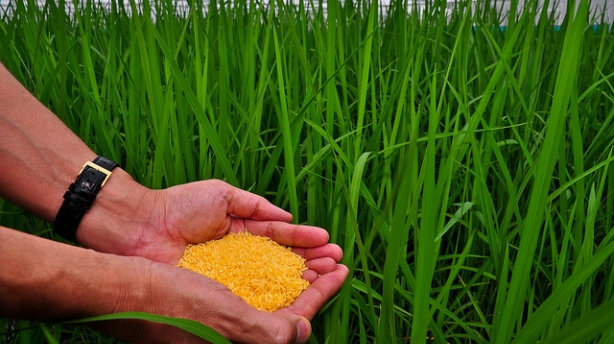 Golden-Rice.-Credit_Bill-Melinda-Gates-Foundation.jpg