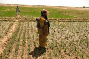 A 'dry' SRI field in Mali. Credit, Cornell University.