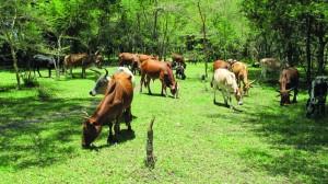 Ngitili Cattle,Tanzania. Credit Lalisa Duguma ICRAF