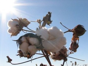 Organic cotton in Uganda. Credit Organic Exchange