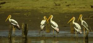 Painted Storks, Gal Oya, Sri Lanka. Credit, F. Veronesi.