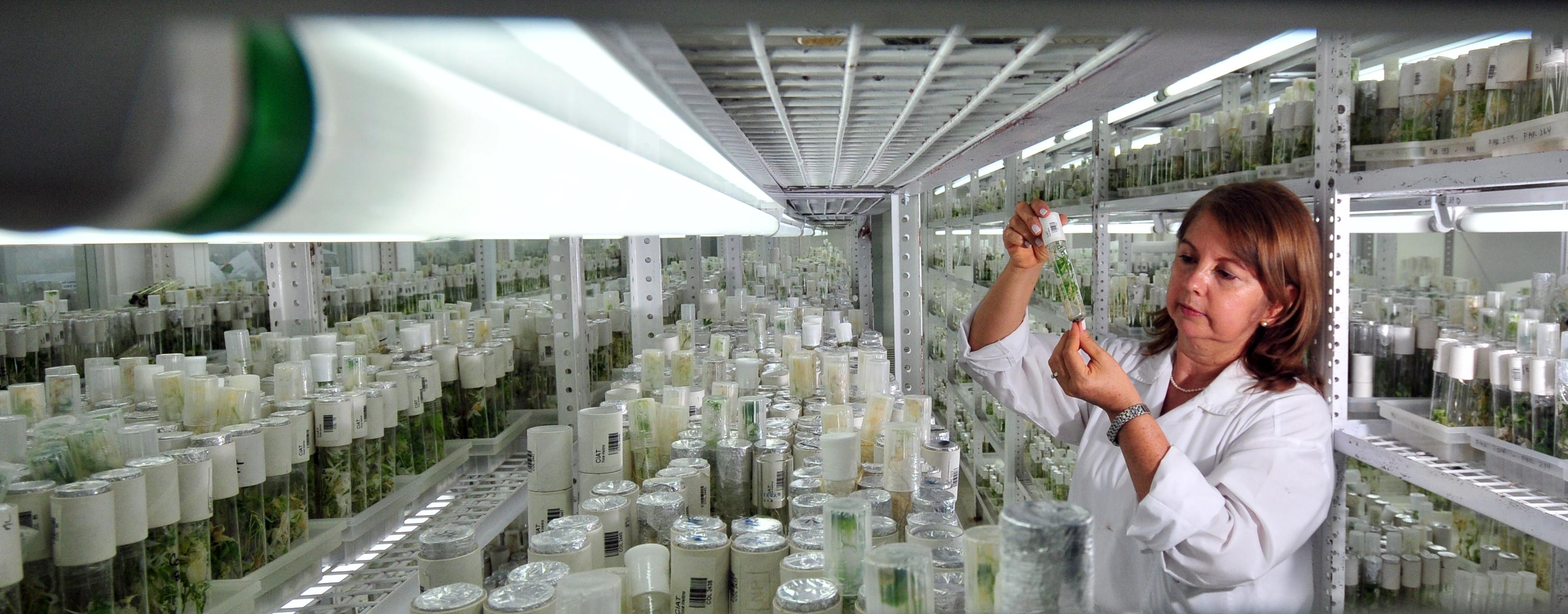 Agriculture for Impact Tissue culture