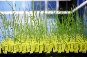 Genetically modified rice plants in a greenhouse at CropDesign. Credit, BASF.