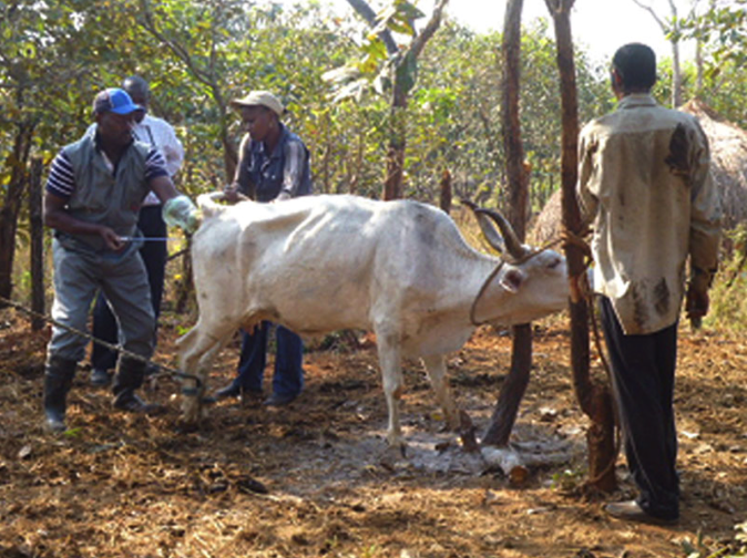Agriculture for Impact Artificial Insemination