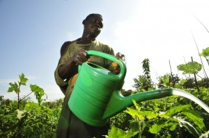 Vegetable farmer in Ghana watering his crops. Credit N. Palmer CIAT