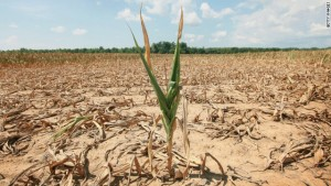 Drought tolerant corn. Credit, Truth About Trade.