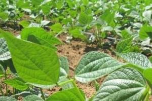 Lecofruit bean crops. Credit, Lecofruit.